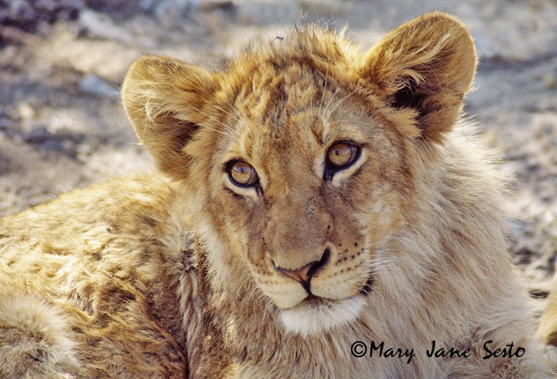 Young Male Lion, Ulusaba
