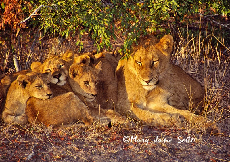 Sunrise Lion Cubs11, South Africa