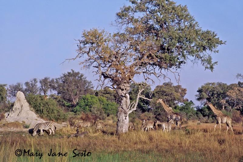 Landscape/Animals, Botswana