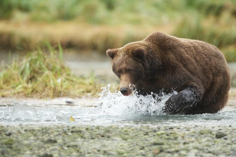 Bear Eyes Salmon Fin While Fishing