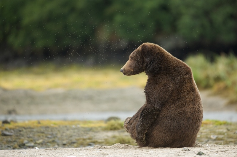 Bear in Yoga Pose with Lots of No See Ums