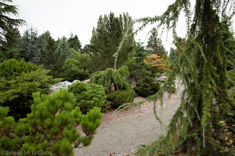 Seattle Community College Conifer Garden #7
