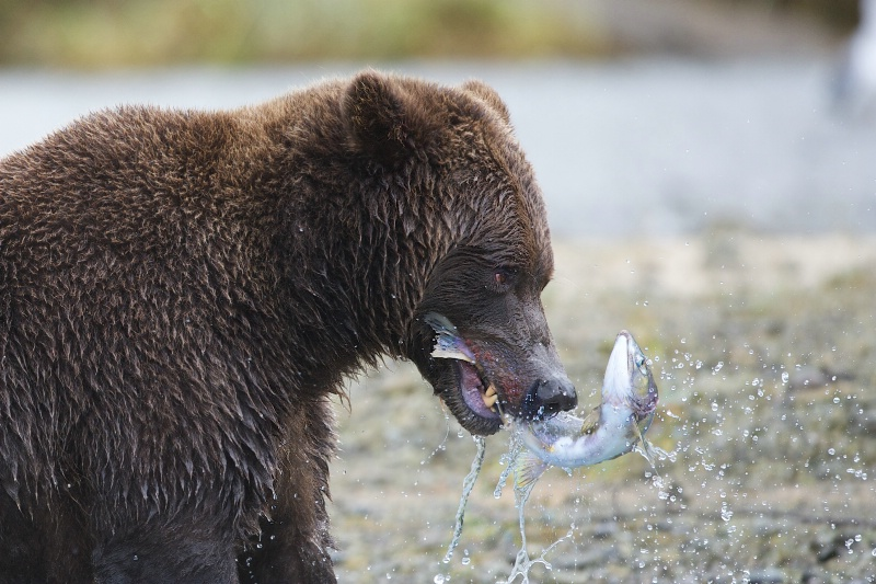 Bear with Salmon in His Jaws