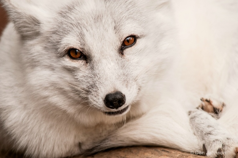 MD Arctic Fox