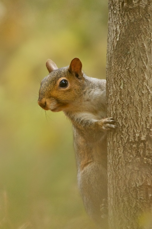 Squirrel at Valley Forge