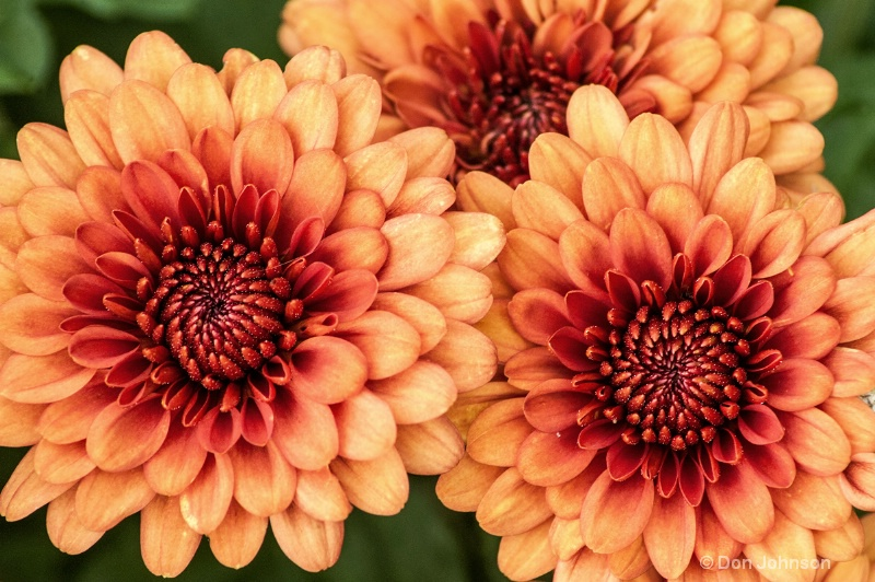 Three Orange Mums