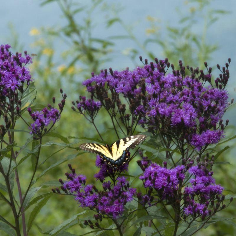 Mountain Butterfly III
