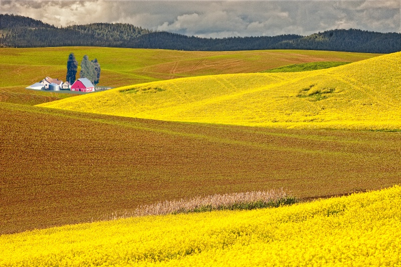 Canola fields, Palouse, Washington
