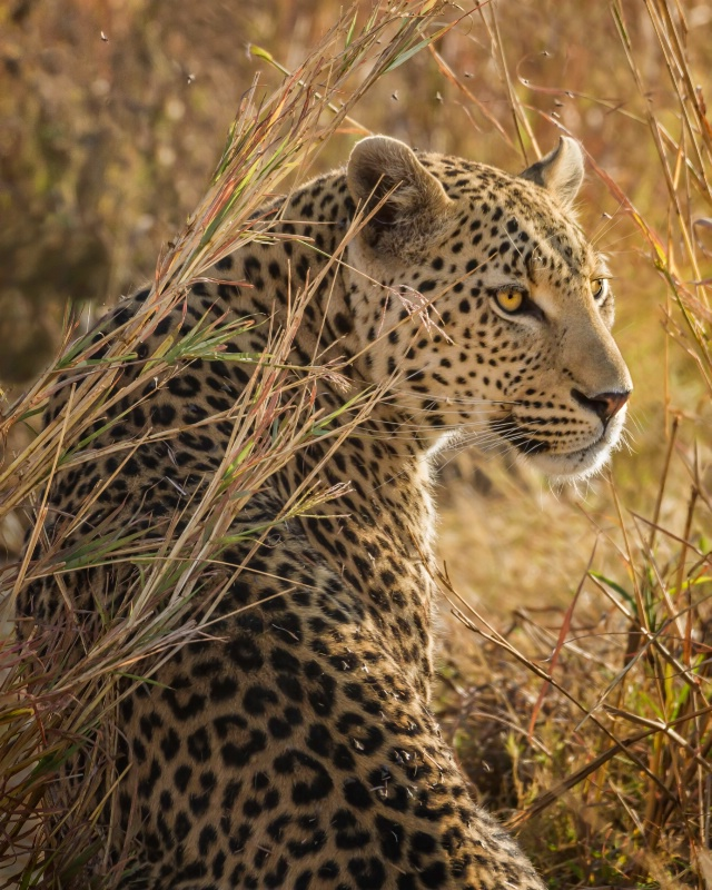 Leopard In Waiting