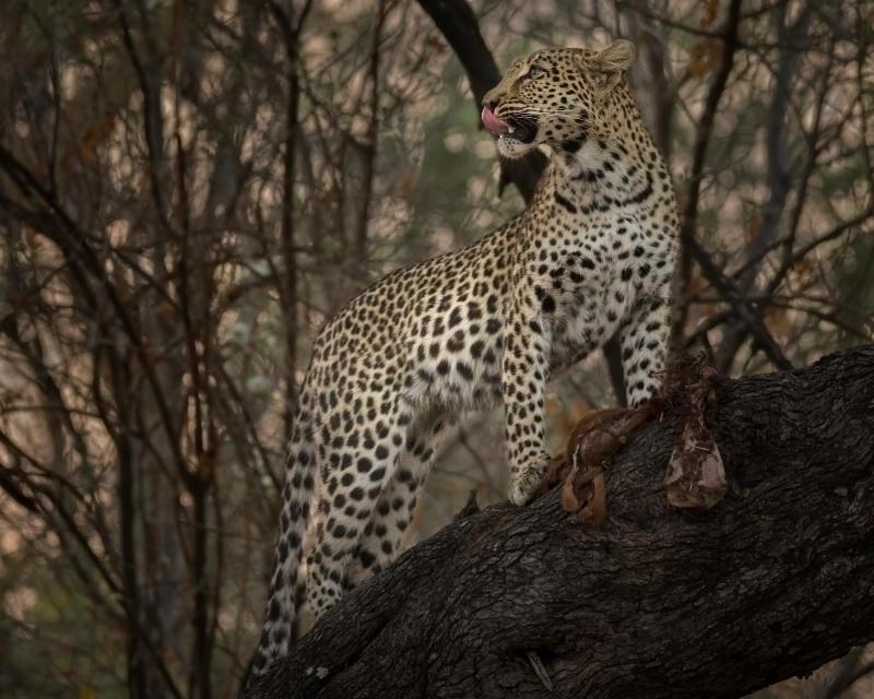 Lucky Leopard