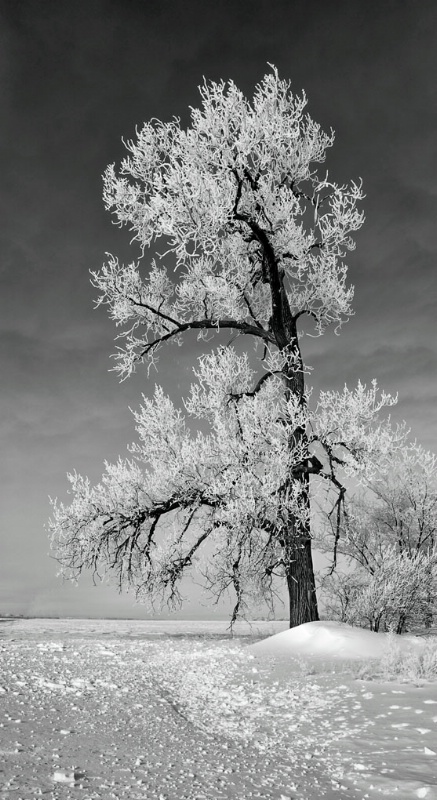 Cottonwood in glorious frost