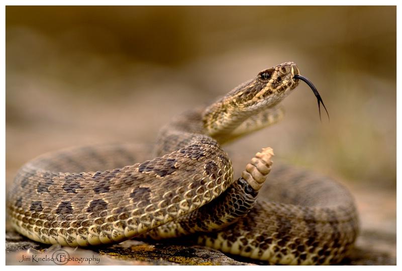 Prairie Rattlesnake, Dinosaur PP