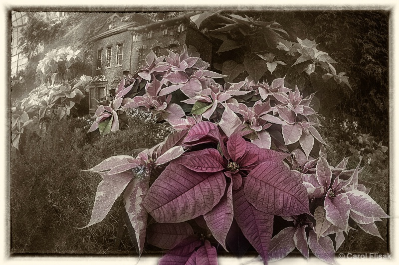 Holiday Pointsettia