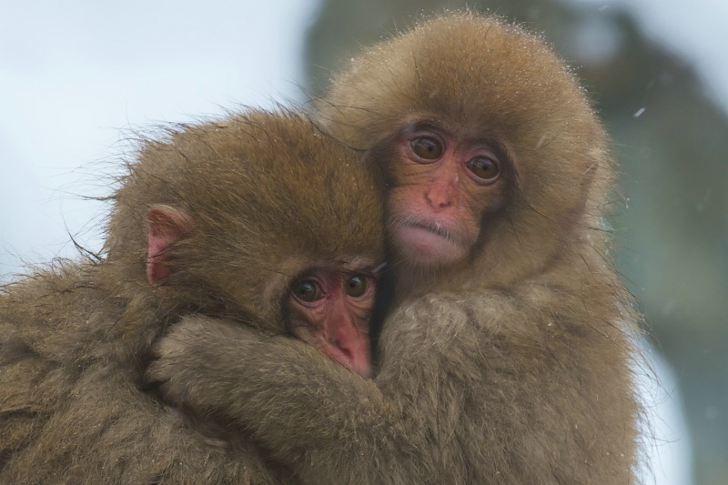 Snow Monkey Babies Hugging