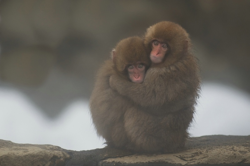 Two Baby Snow Monkeys