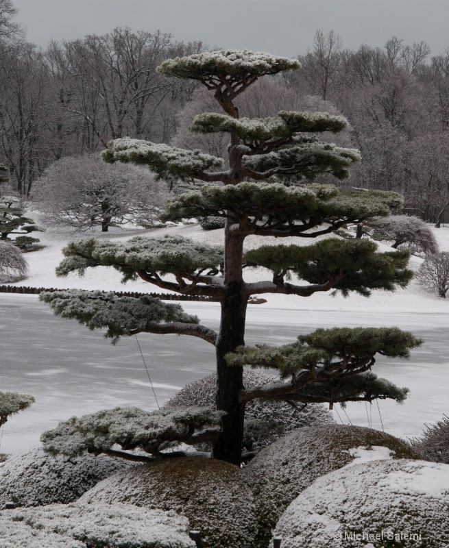 Japanese Conifer