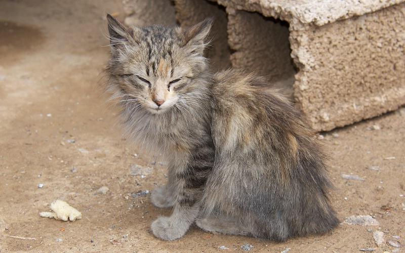 Mangy Cat