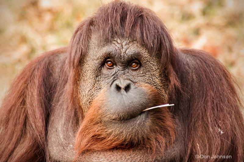 DC Orangutan