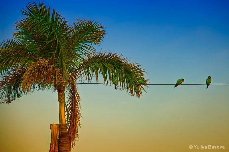 Green Parakeets, 'wild' wild birds.