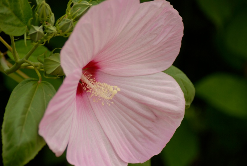 Hibiscus: Moss Rose
