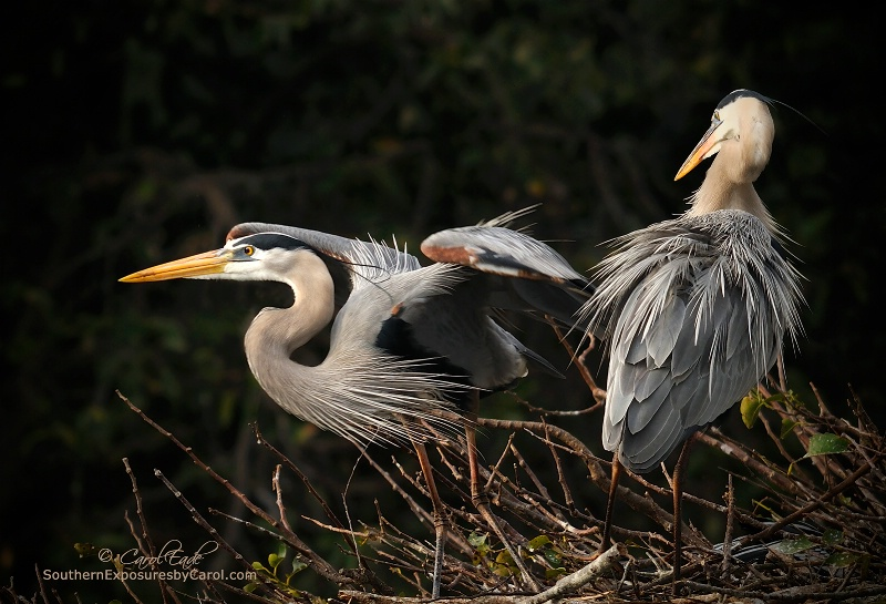 Great Blue Heron Pair, Wakodahatchee Wetlands