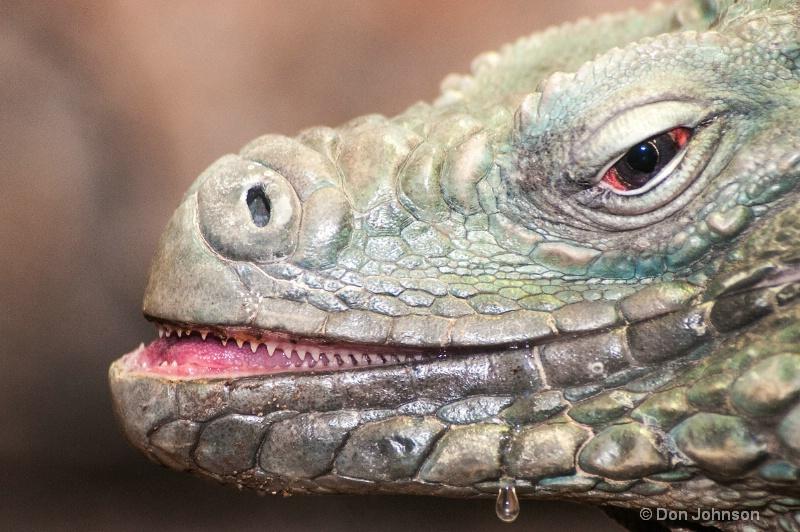Drooling Iguana
