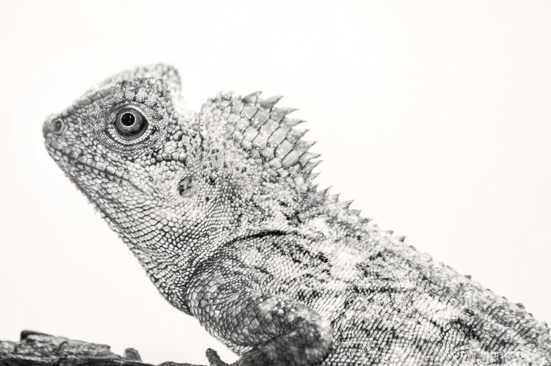 Black and White Lizard