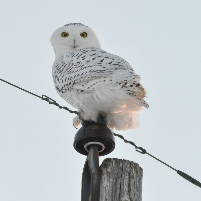 Snowy Owl Watching