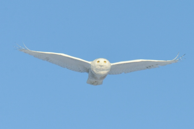 Snowy Owl Gliding