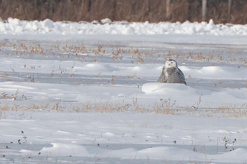 Immature Snowy Owl