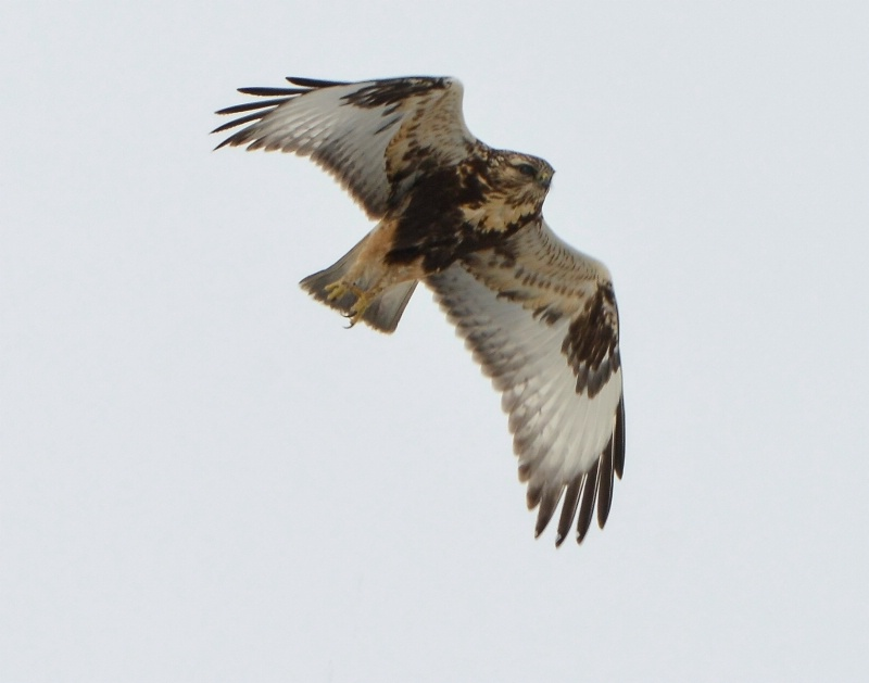 Rough-Legged Immature Female Hawk