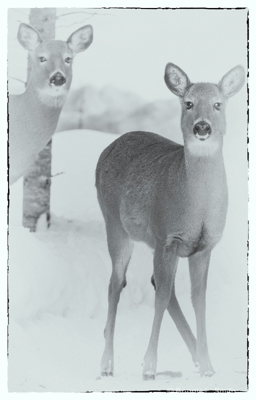 Deer B&W in Winter