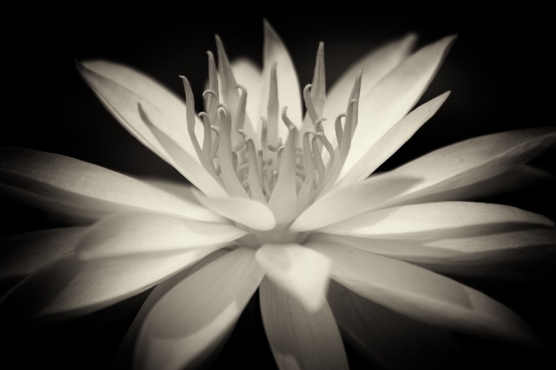 Water Lily In Black & White