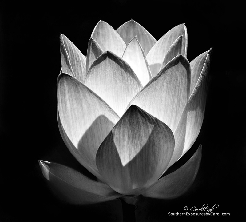 Monochrome Lotus