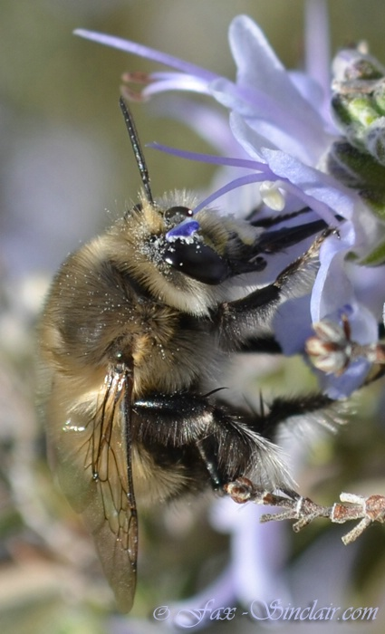 Bee with Blue Hat -- Fascinator!