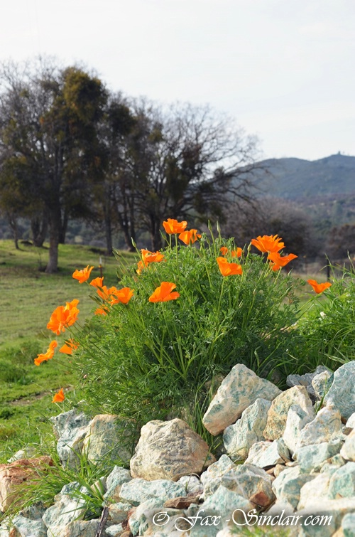 Bear Valley Poppies 2