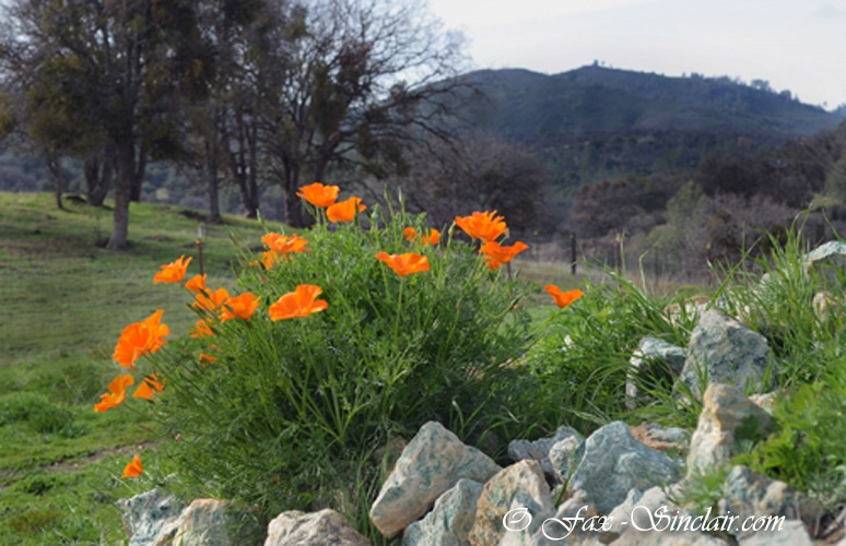 Bear Valley Poppies 1