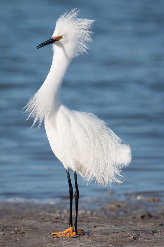 Snowy Egret - Strike a Pose