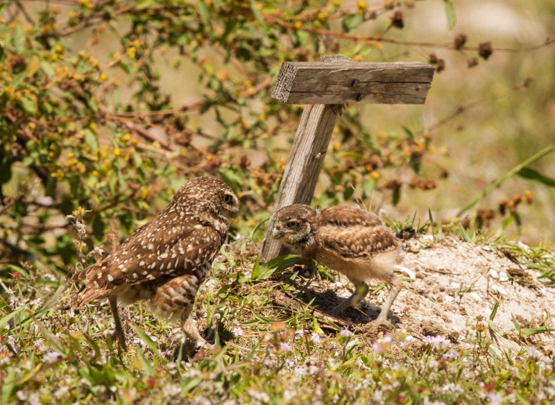 Young owl greeting Adult