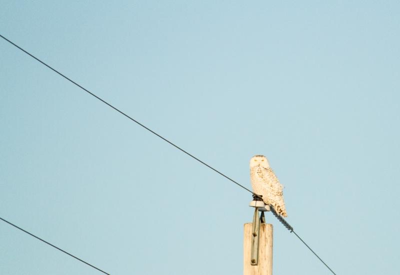 Snowy Owl on Power Pole