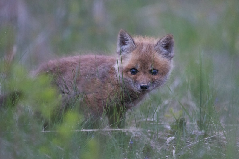 Baby Fox in the Grass