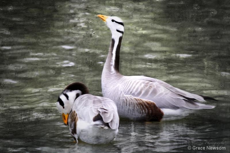 Geese Duet