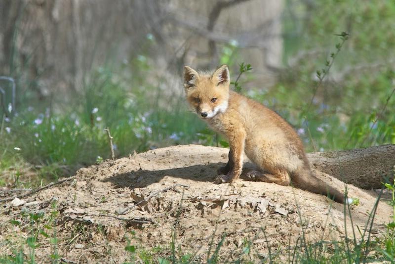 Fox Kit in Profile