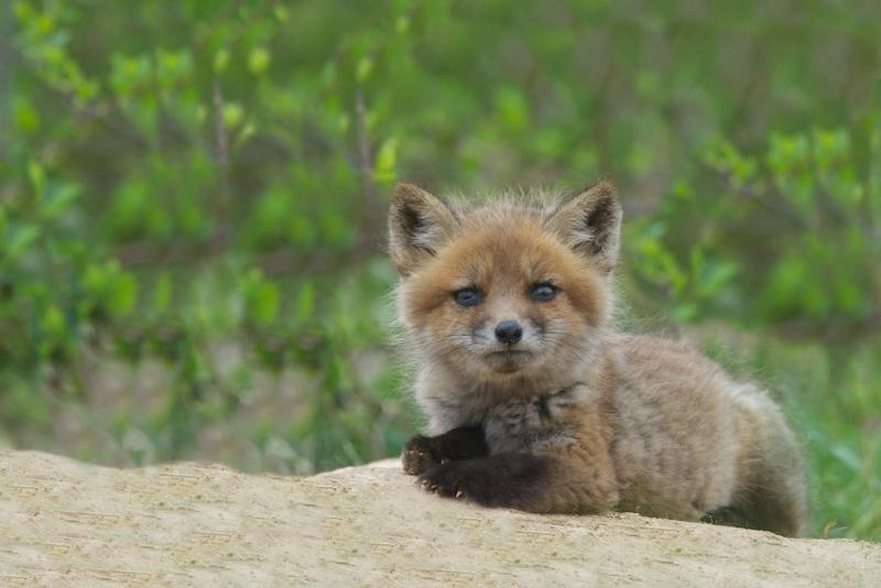 Little Curious Fox