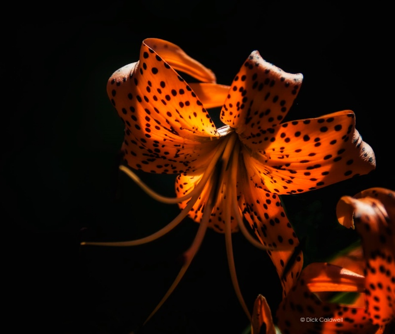 Tiger lily in the light