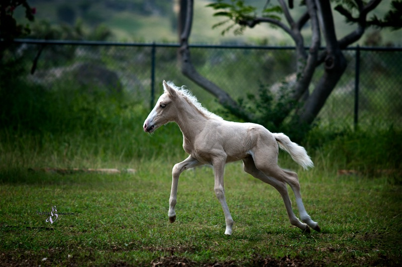 Little Palomino Filly