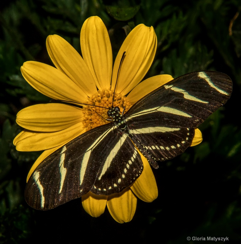 Yellow and Black - butterfly on a yellow daisy; AZ