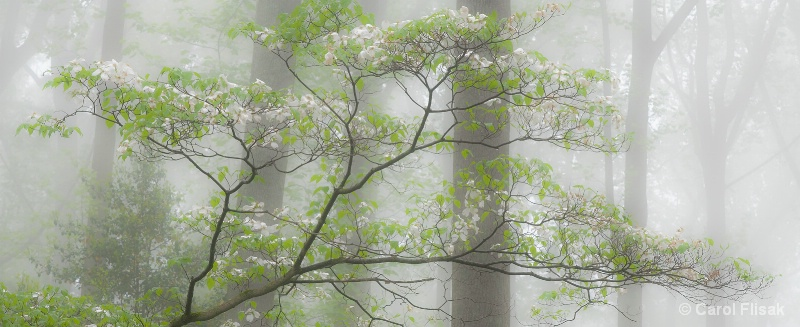 Dogwood in Fog