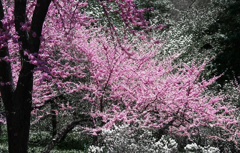 Cherry Blossom in Manhattan