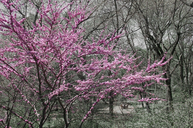 Another Cherry Tree in Bloom